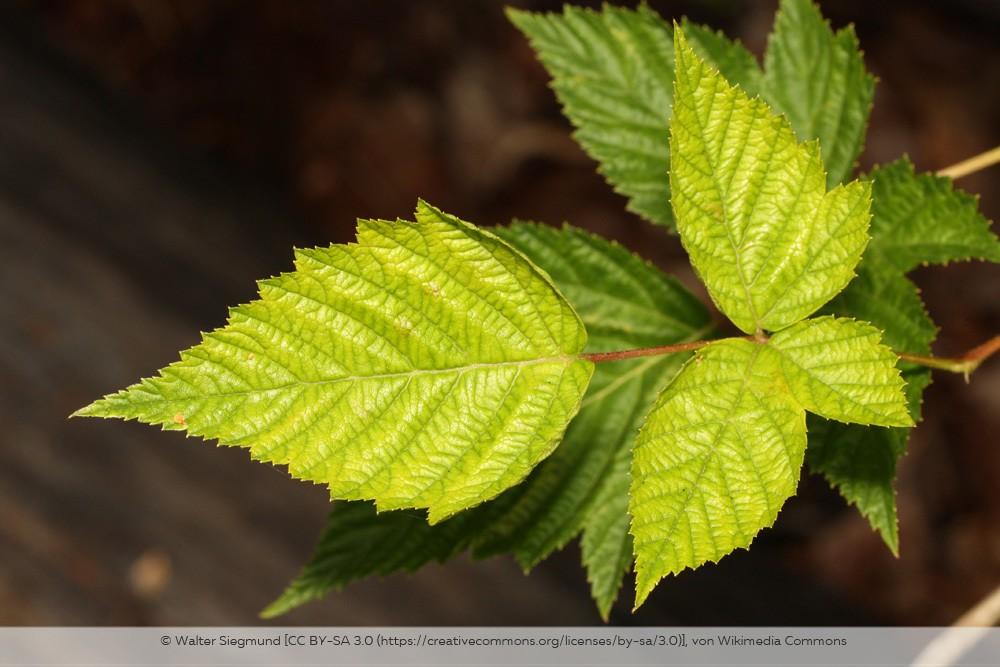Blätter der Lachsbeere