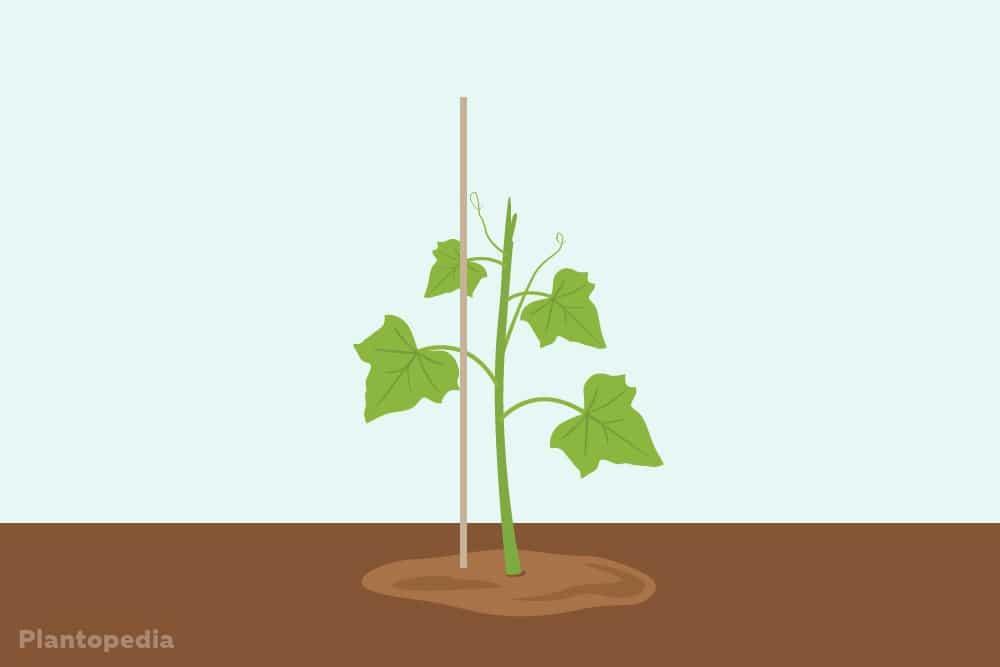 Rankgerüst für eine Gurkenpflanze