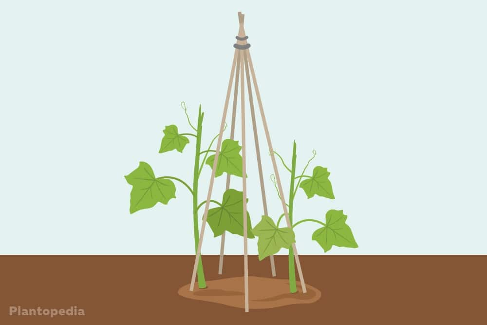 Rankhilfe für mehrere Gurkenpflanzen