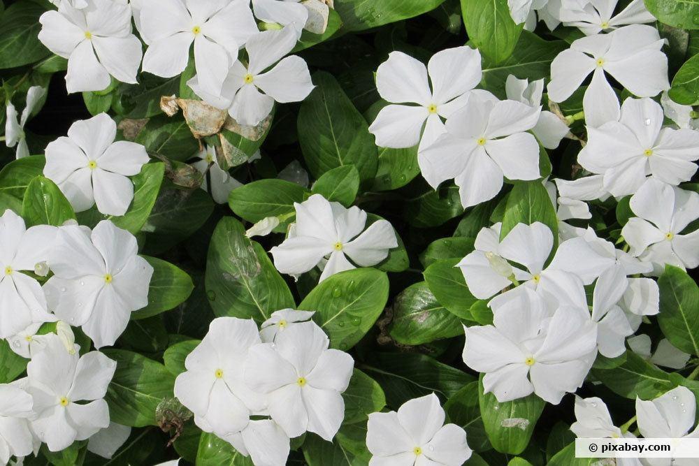 Weißes Immergrün, Vinca minor 'Alba'