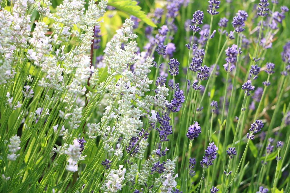 Weißer Lavendel und violetter Lavendel