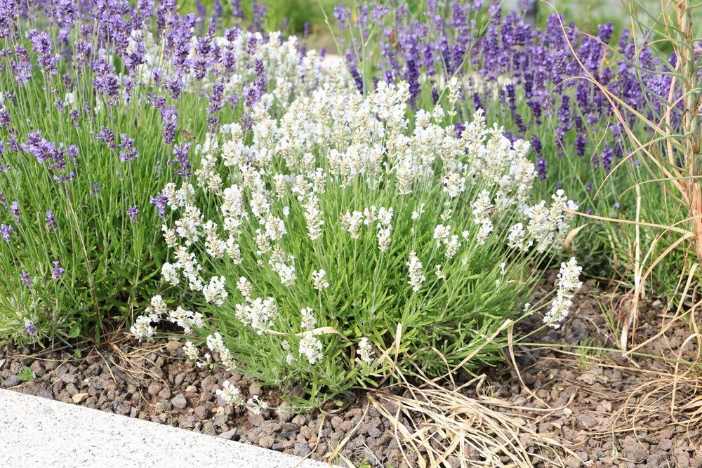 Boden um Weißen Lavendel