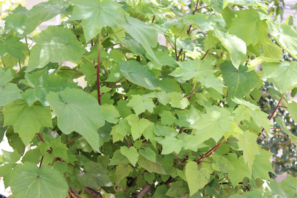 Zimmerlinde Sparmannia Africana