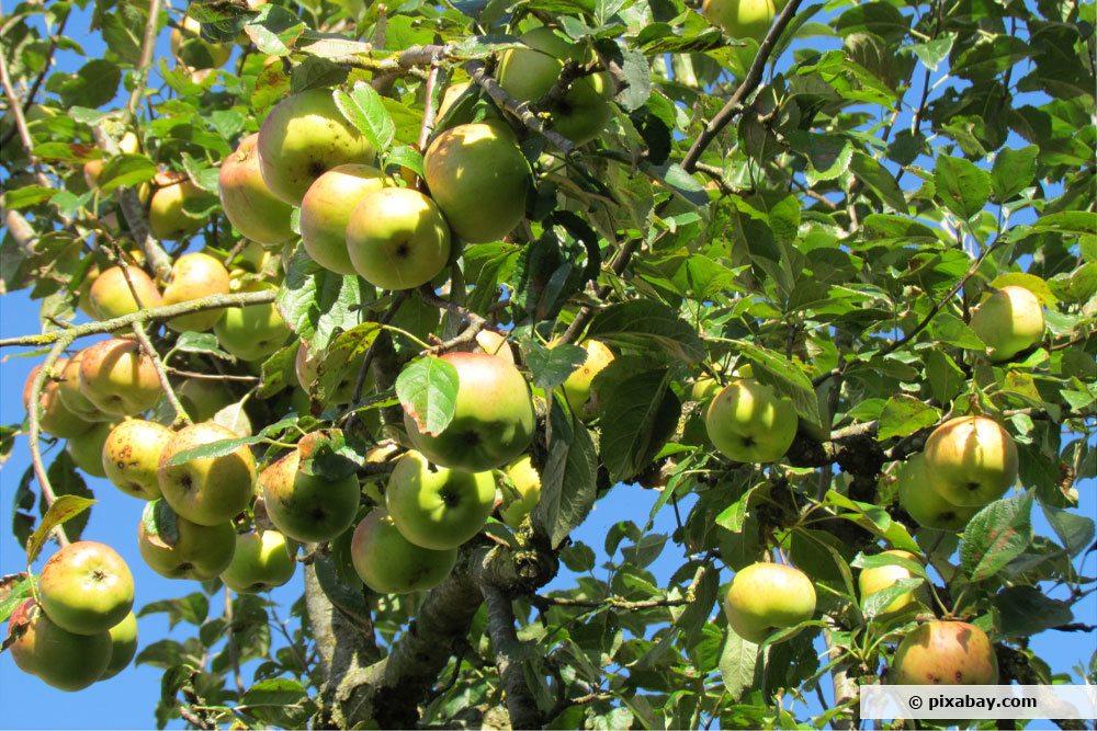 Apfelbaum Elstar