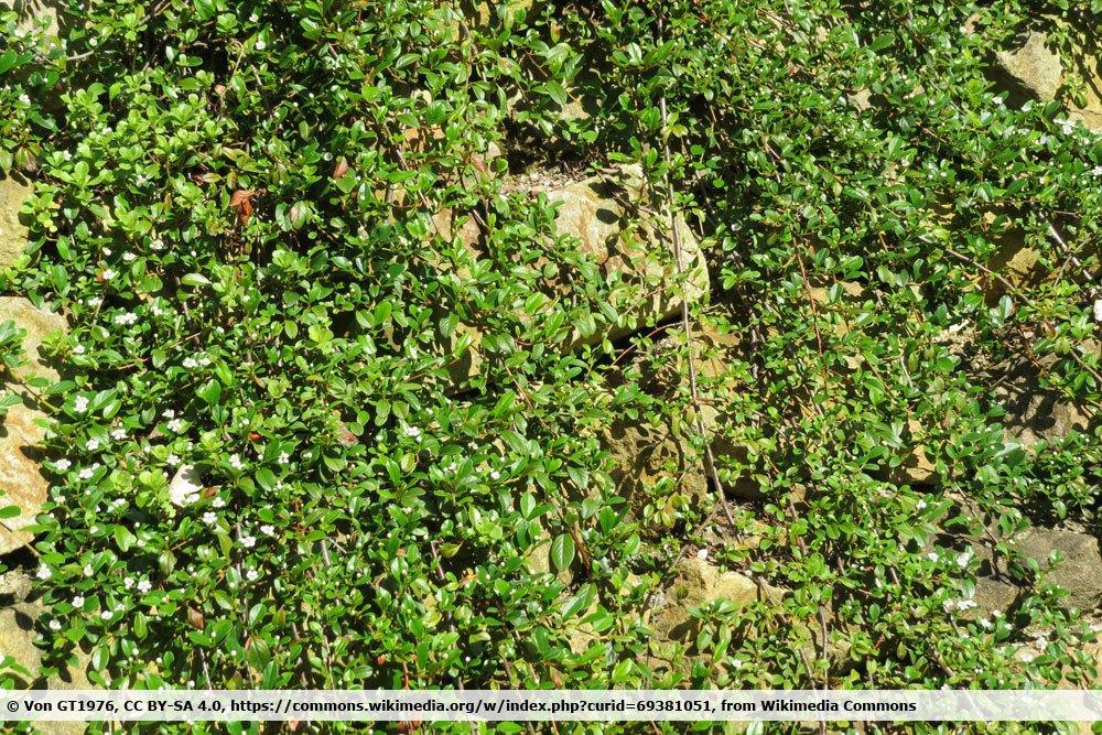 Kriechmispel, Cotoneaster dammeri