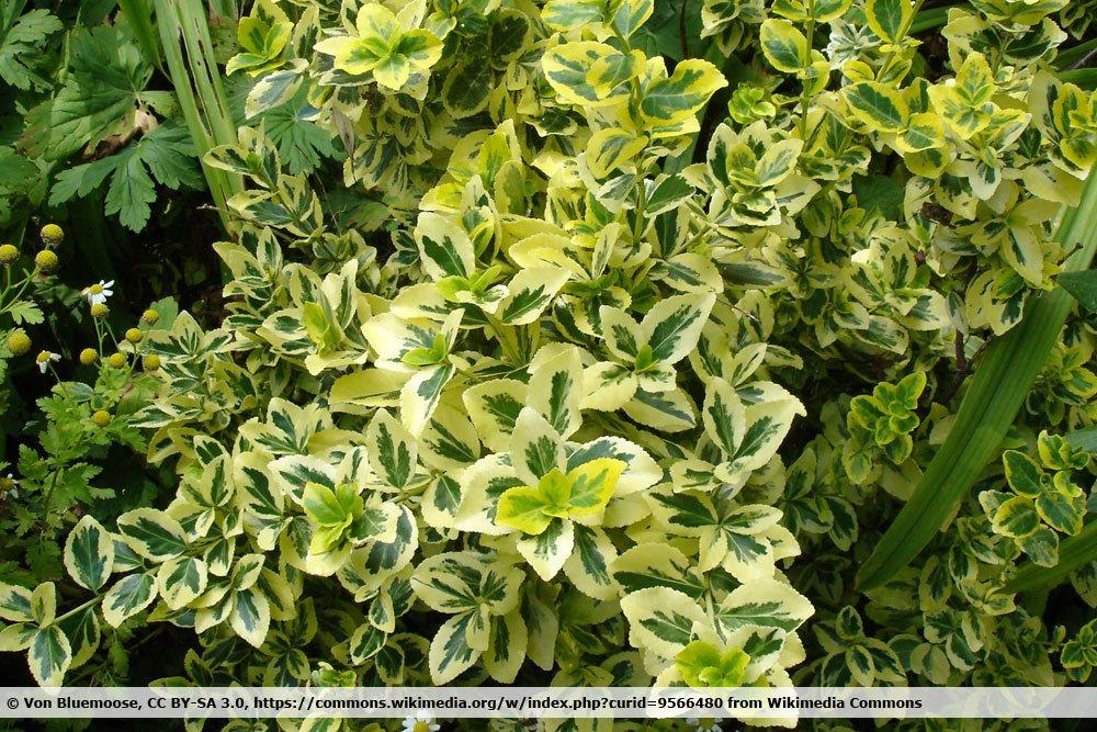 Immergrüne Kriechspindel, Euonymus fortunei als Bodendecker