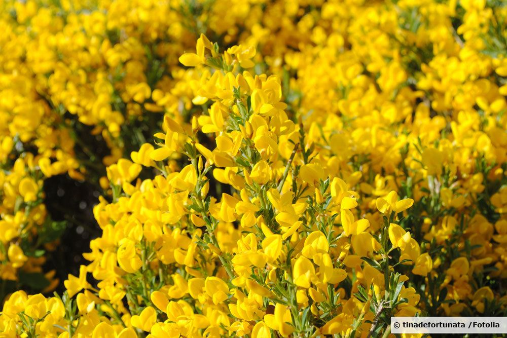 Kriech-Ginster, Cytisus decumbens
