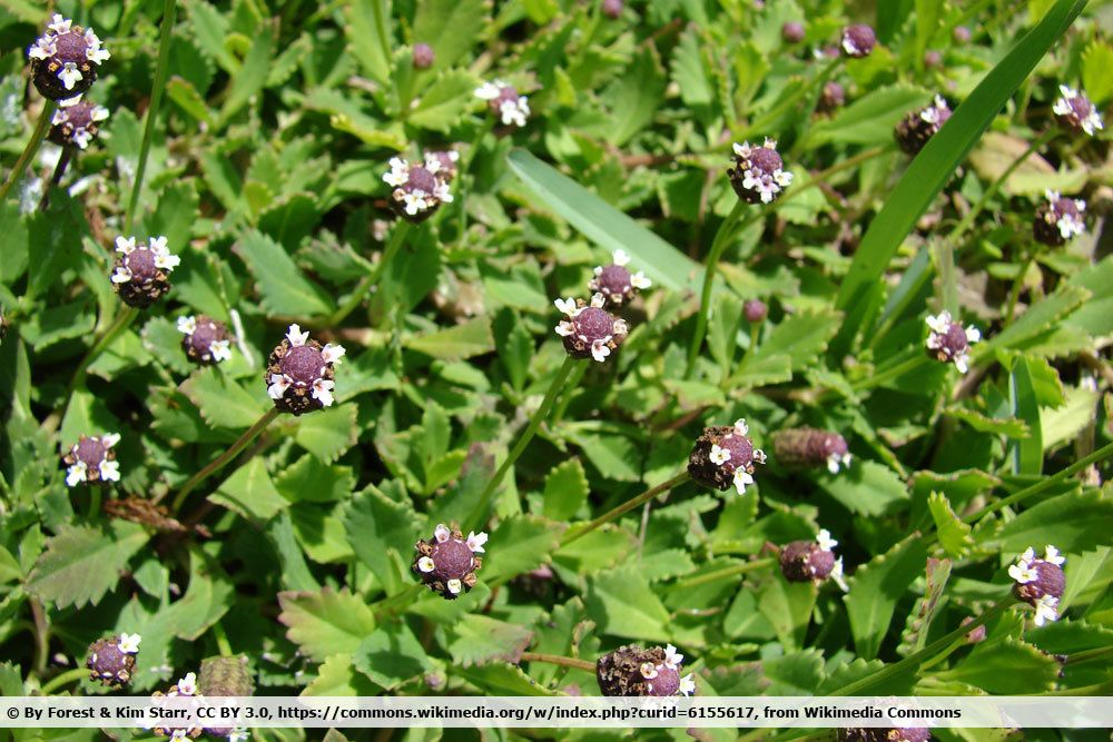 Teppich-Verbene, Phyla nodiflora