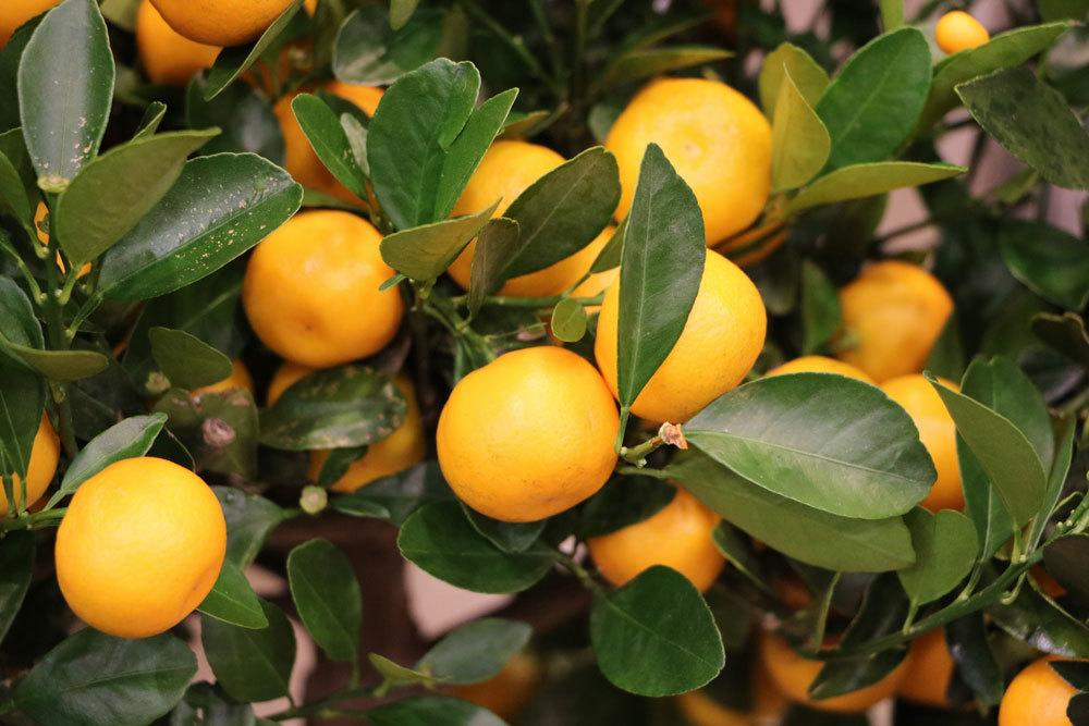 Calamondin Orange
