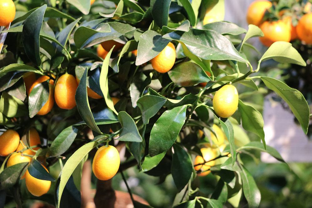 Calamondin-Orange