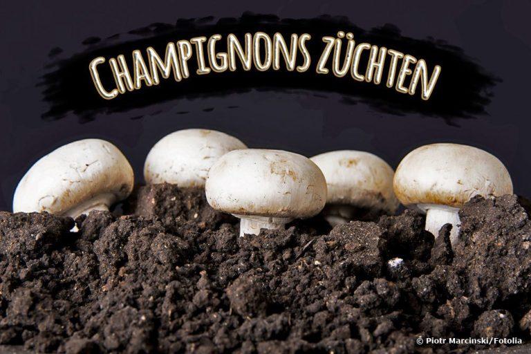 Champignons züchten