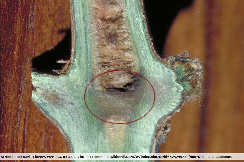 Diaphragma geschädigt durch Winterfrost