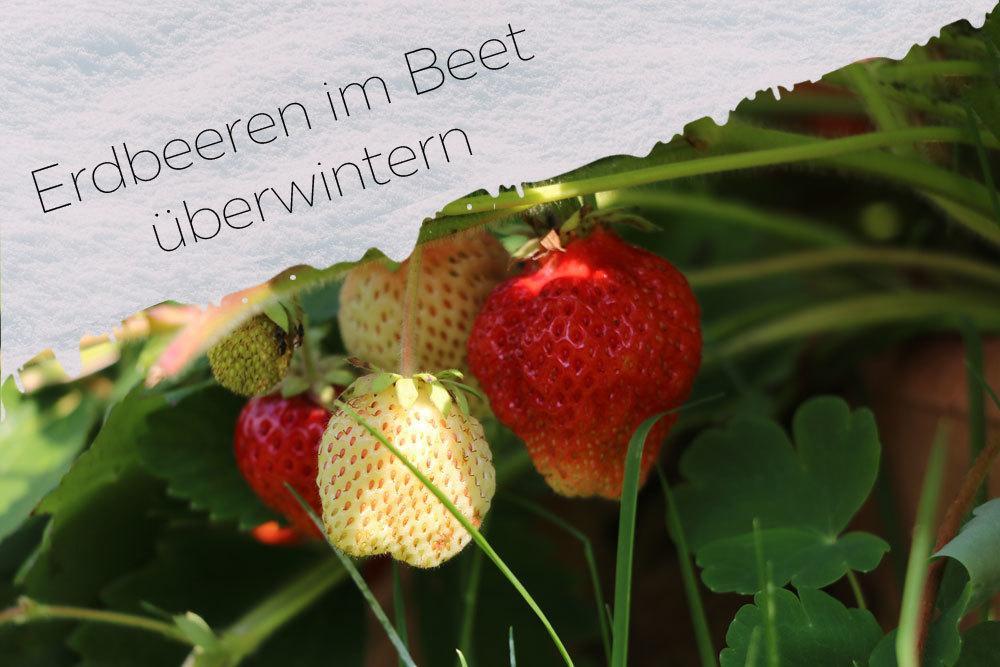 Erdbeeren im Beet überwintern