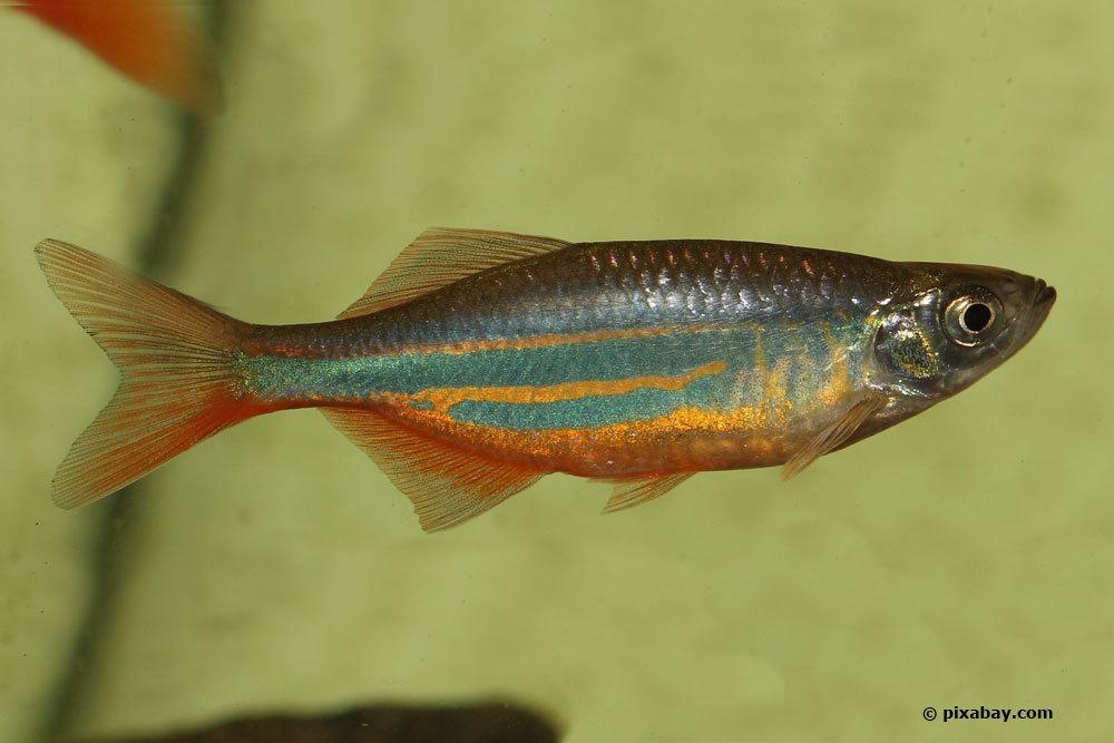 Elritze, Phoxinus phoxinus