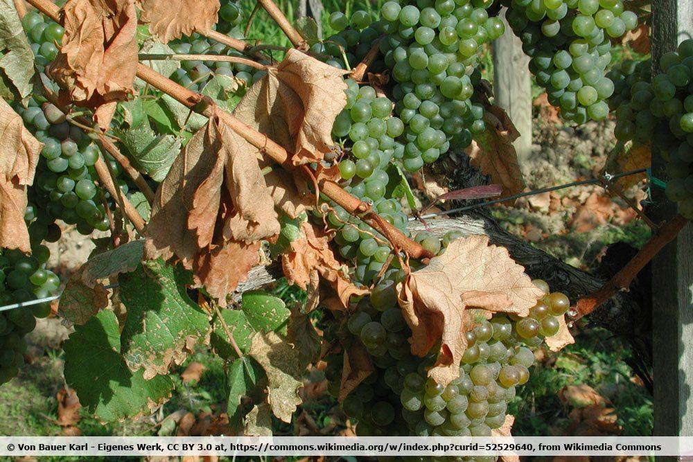 Frühfrostschäden an der Weinrebe