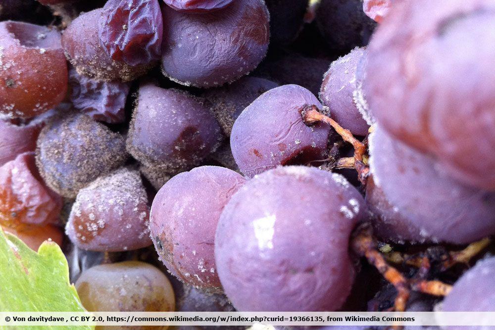 Grauschimmel an Weintrauben