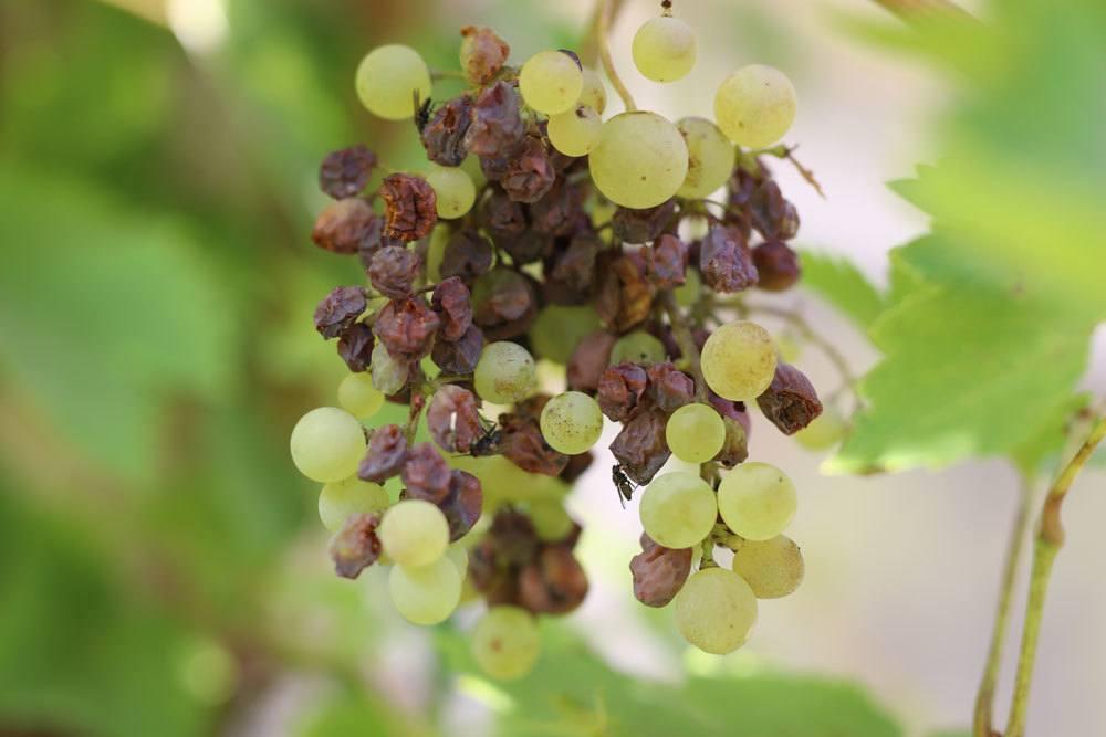 Essigfäule an Weinreben