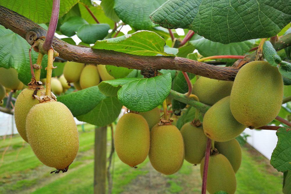 Kiwis an der Kiwipflanze