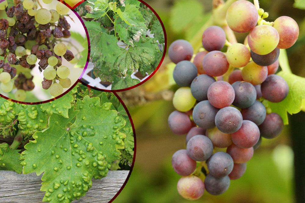 Krankheiten an Weinreben 8 häufige Weinkrankheiten bekämpfen ~ 13085652_Sukkulenten Krankheiten Mehltau