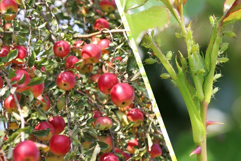 Läuse am Apfelbaum bekämpfen
