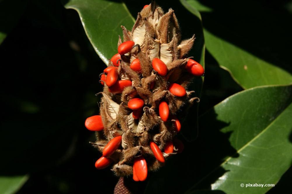 Magnolie Verschiedene Samen