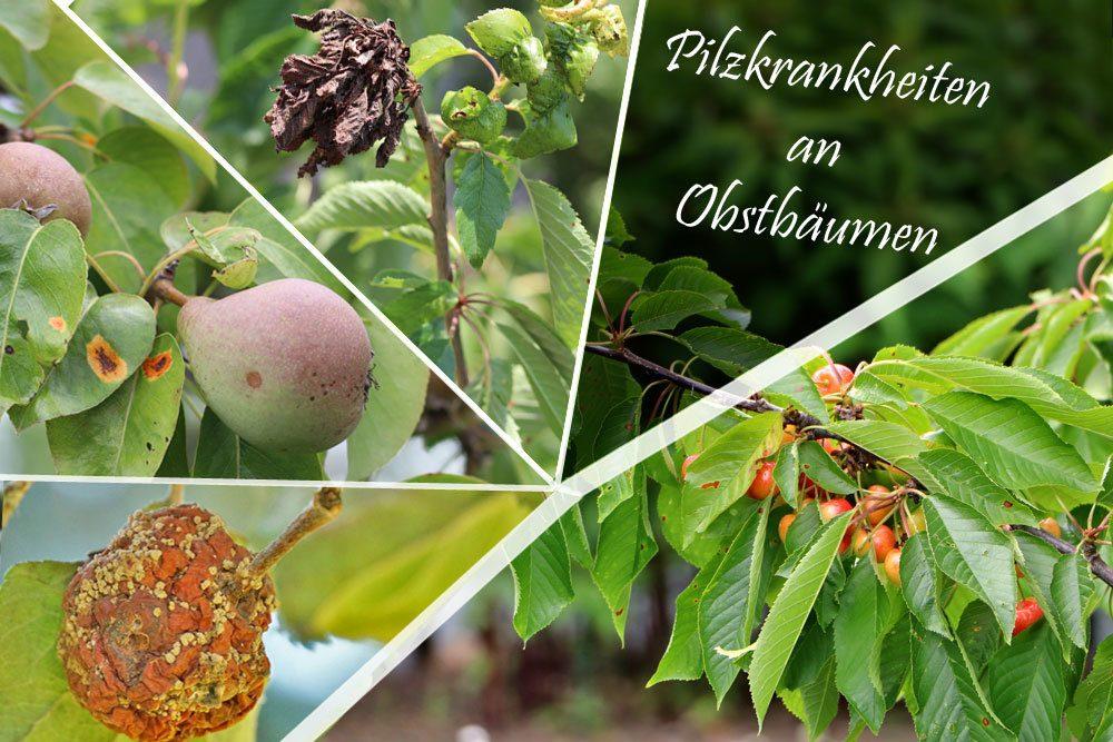 Pilzkrankheiten an Obstbäumen