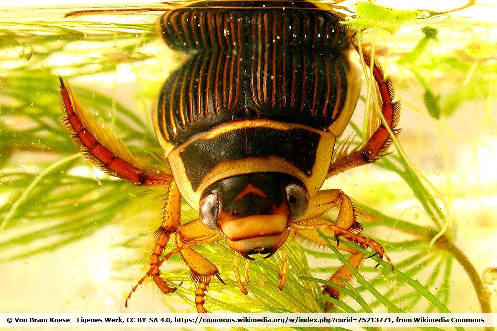 Gelbrandkäfer, Dytiscus marginalis