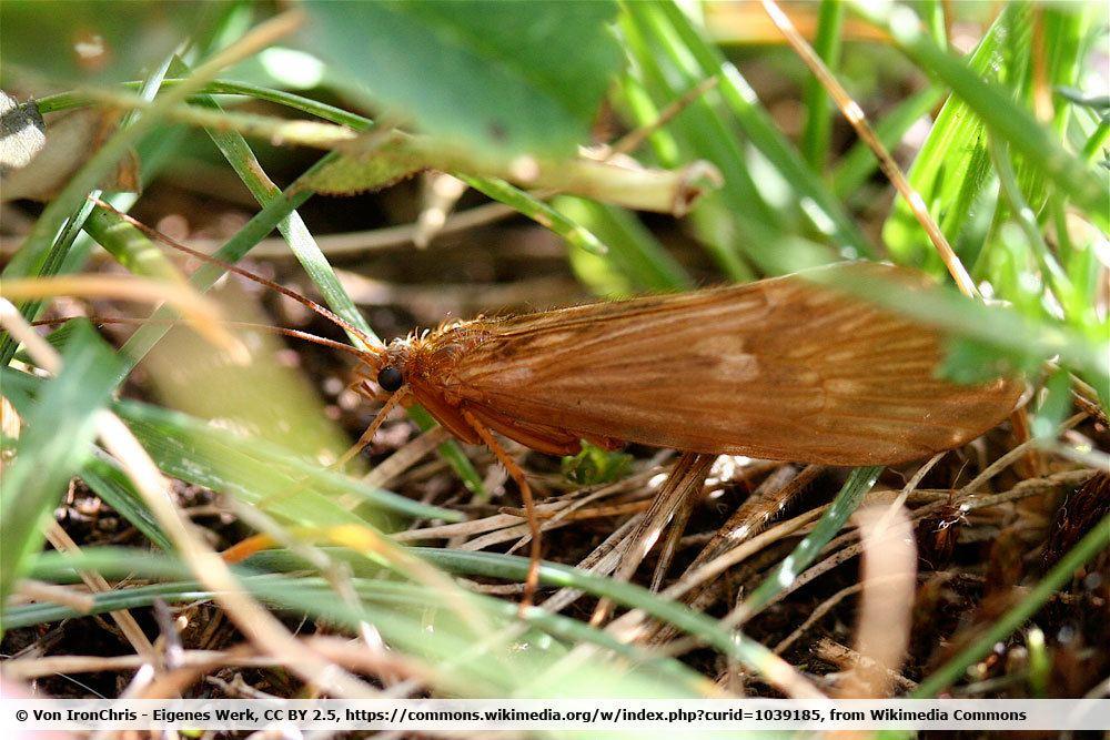 Köcherfliege, Trichoptera