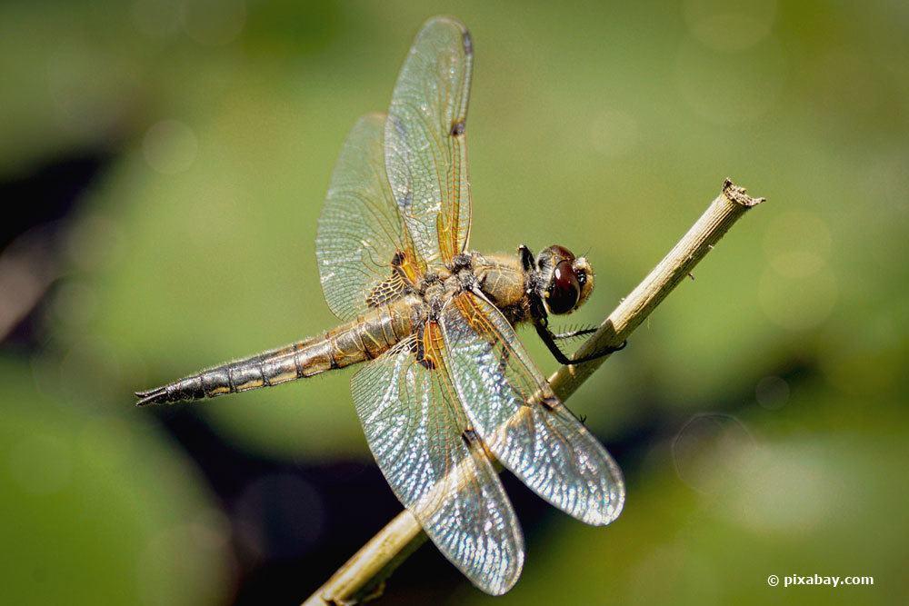 Libelle, Odonata