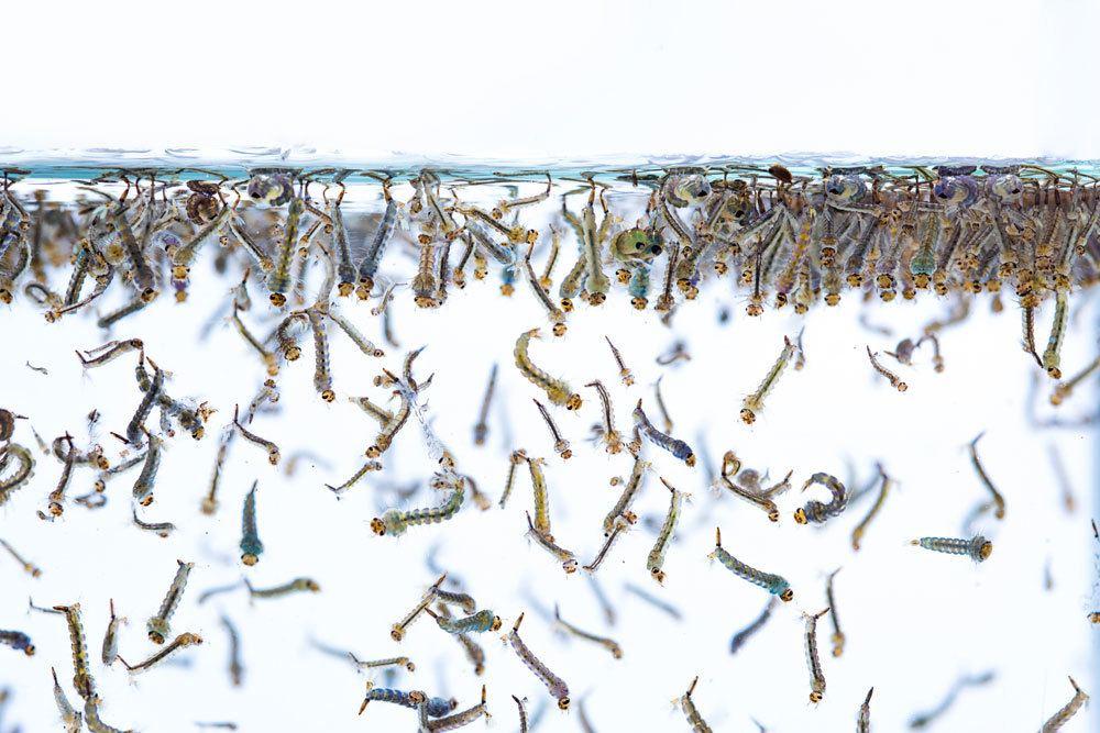 Mückenlarven im Wasser