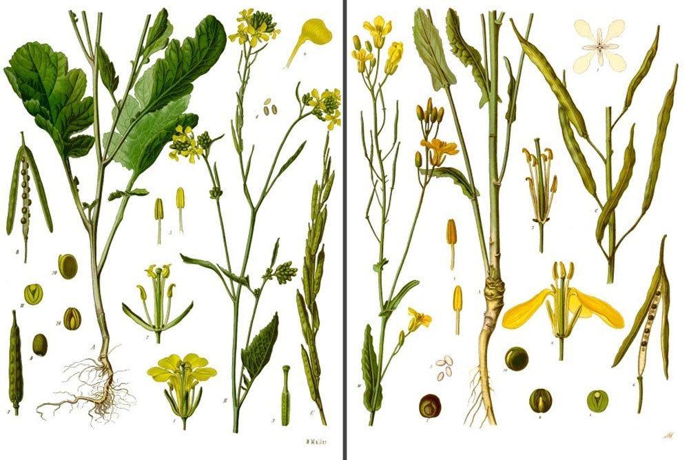 Gemeinsame Senfpflanzen erkennen: Unterschiede zu Raps | Wann blüht Senf? &JX_76