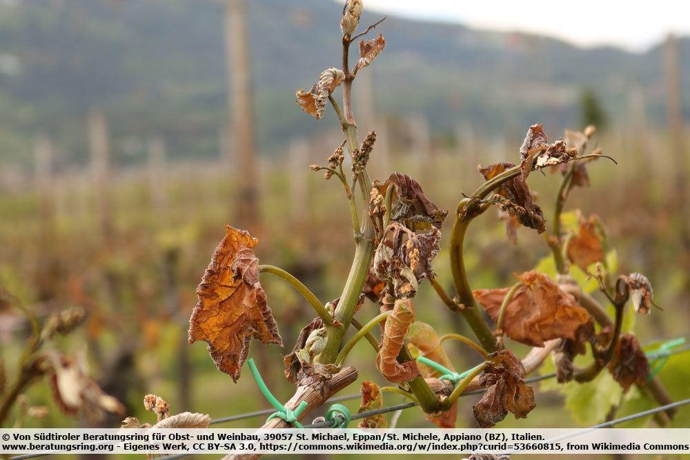 Spätfrostschäden an der Weinrebe