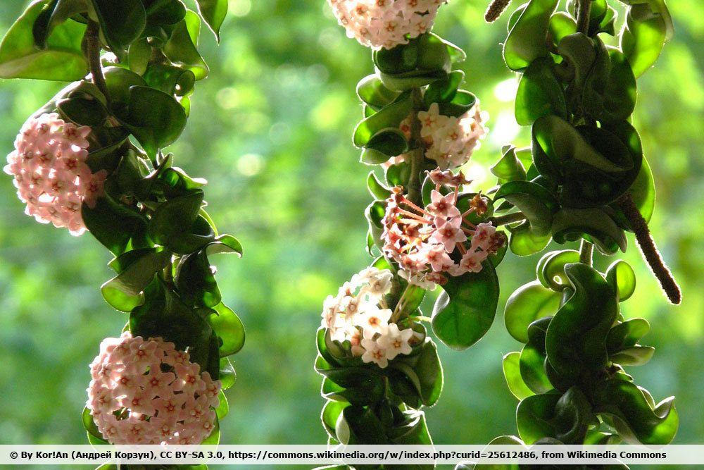 Hindu Rope Plant, Hoya compacta
