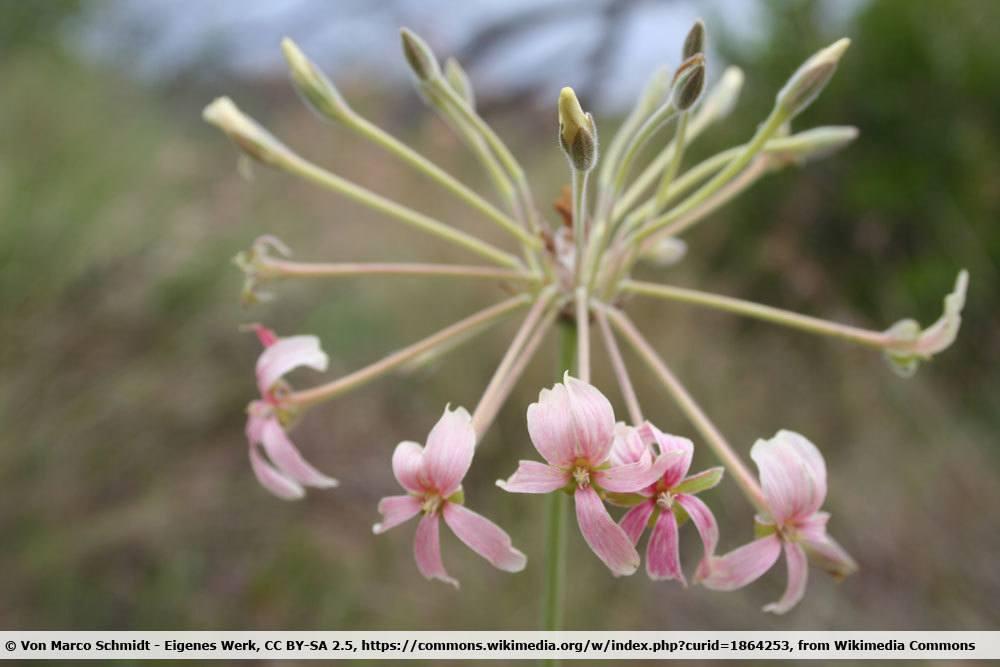 Rauchfarbene Pelargonie, Pelargonium luridum