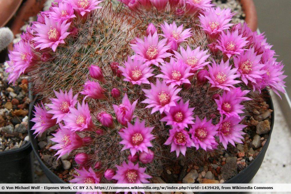 Pincushion Cactus, Mammillaria crinita
