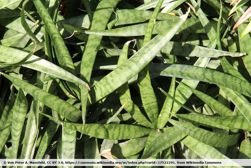 Kenya Hyacinth, Sansevieria parva