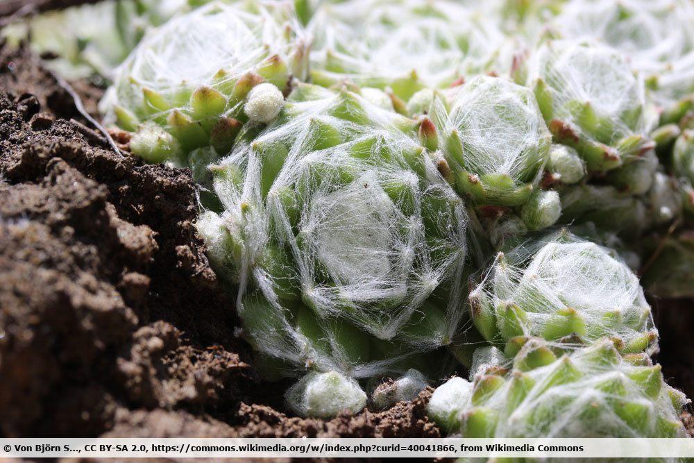 Spinnweb-Hauswurz, Sempervivum arachnoideum
