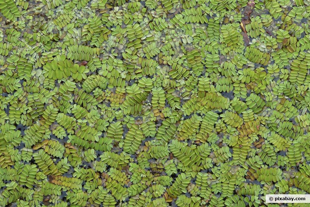 Kleiner Algenfarn, Azolla caroliniana
