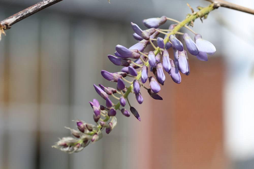 Chinesischer Blauregen, Wisteria sinensis