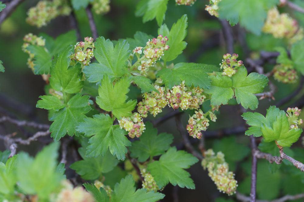 Alpen-Johannisbeere, Ribes alpinum