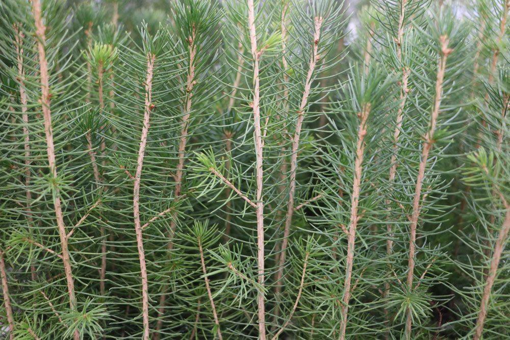 Gemeine Fichte, Picea abies