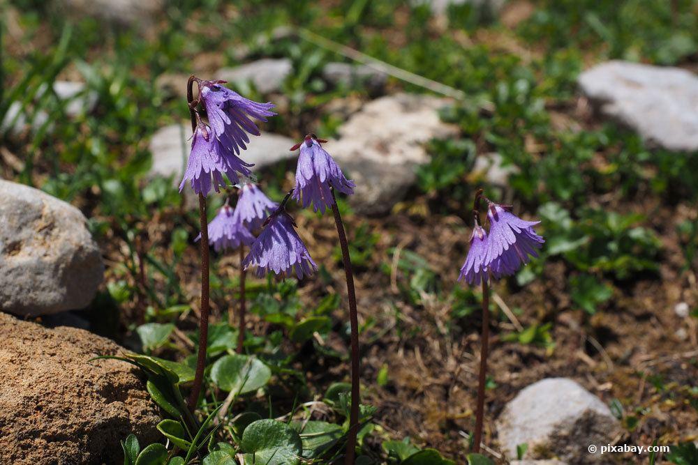 Alpenglöckchen, Soldanella