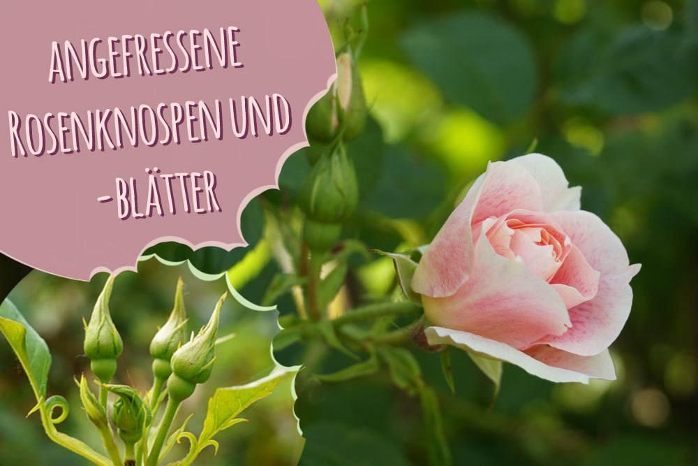 angefressene Rosen