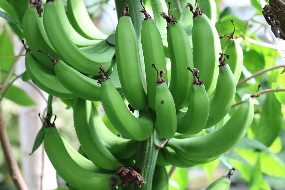 Bananen, Musa basjoo