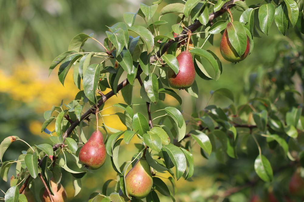 Birnensorte Bunte Julibirne, Obstbäume