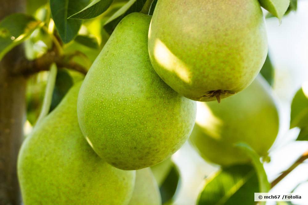 Birnensorte Dessertnaja