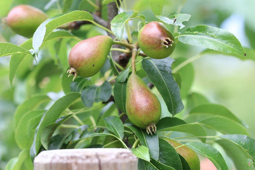 Birnensorte Gute Luise
