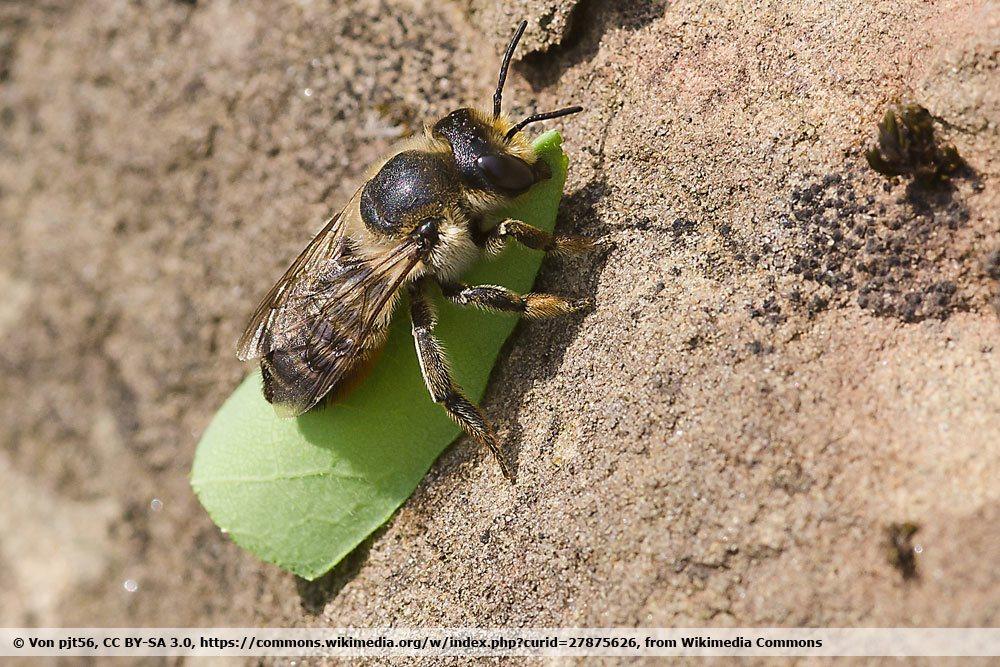 Blattschneiderbiene, Megachile