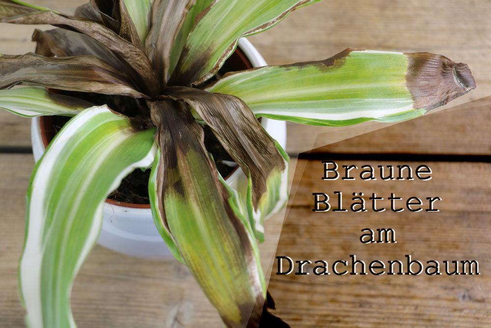 Drachenbaum bekommt braune Blätter
