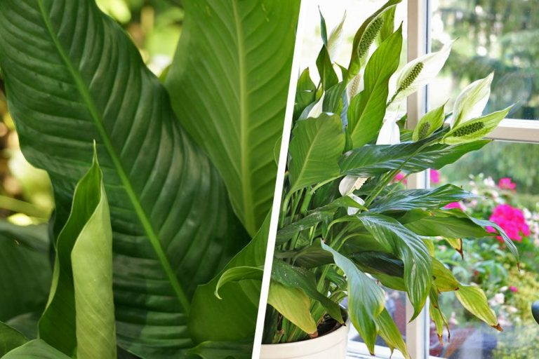 Einblatt lässt Blätter hängen